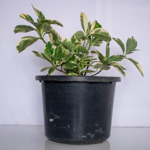Graptophyllum plant is a garden shrub with traditional medicinal uses. It is a common ornamental and hedge plant