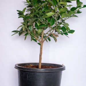The lemon tree is grown for its fruits. Lemon fruits are eaten fresh, pressed for juice and used in cooking.