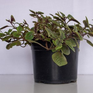 Swedish ivy is a simple house plant. Grows well in hanging baskets.