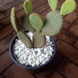 Bunny ears is a cactus with thornless, flat oval-shaped stems