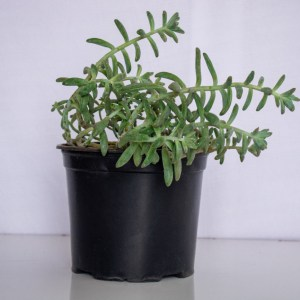 Echeveria is a succulent indoor plant that grows well in bright light and well-drained soil