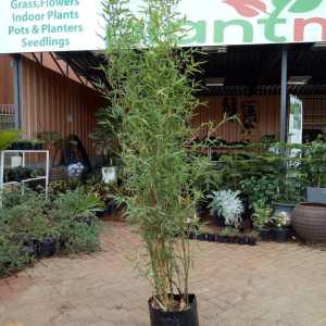 Bamboo hedge plant in kenya