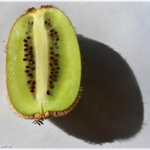 Kiwi Hayward