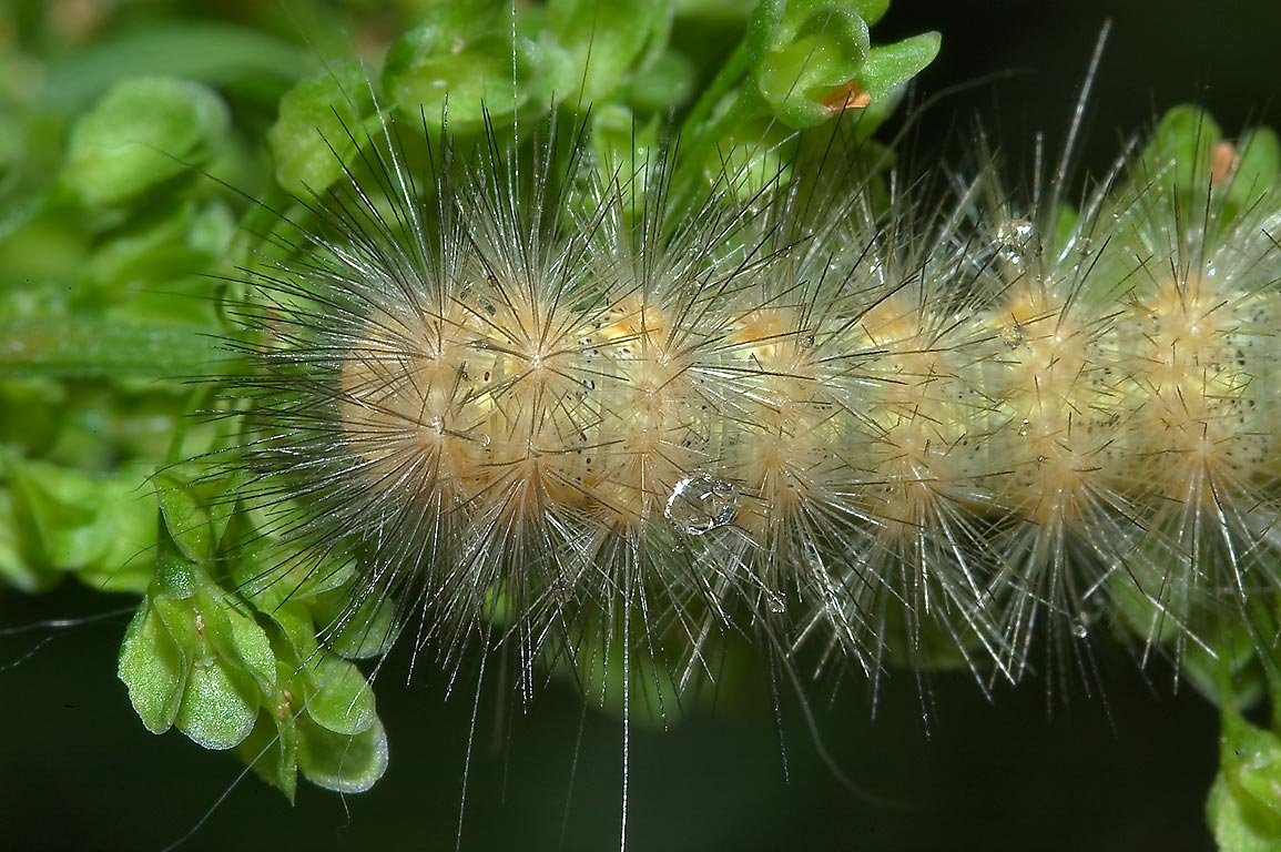 Caterpillar Orange Black Woolly
