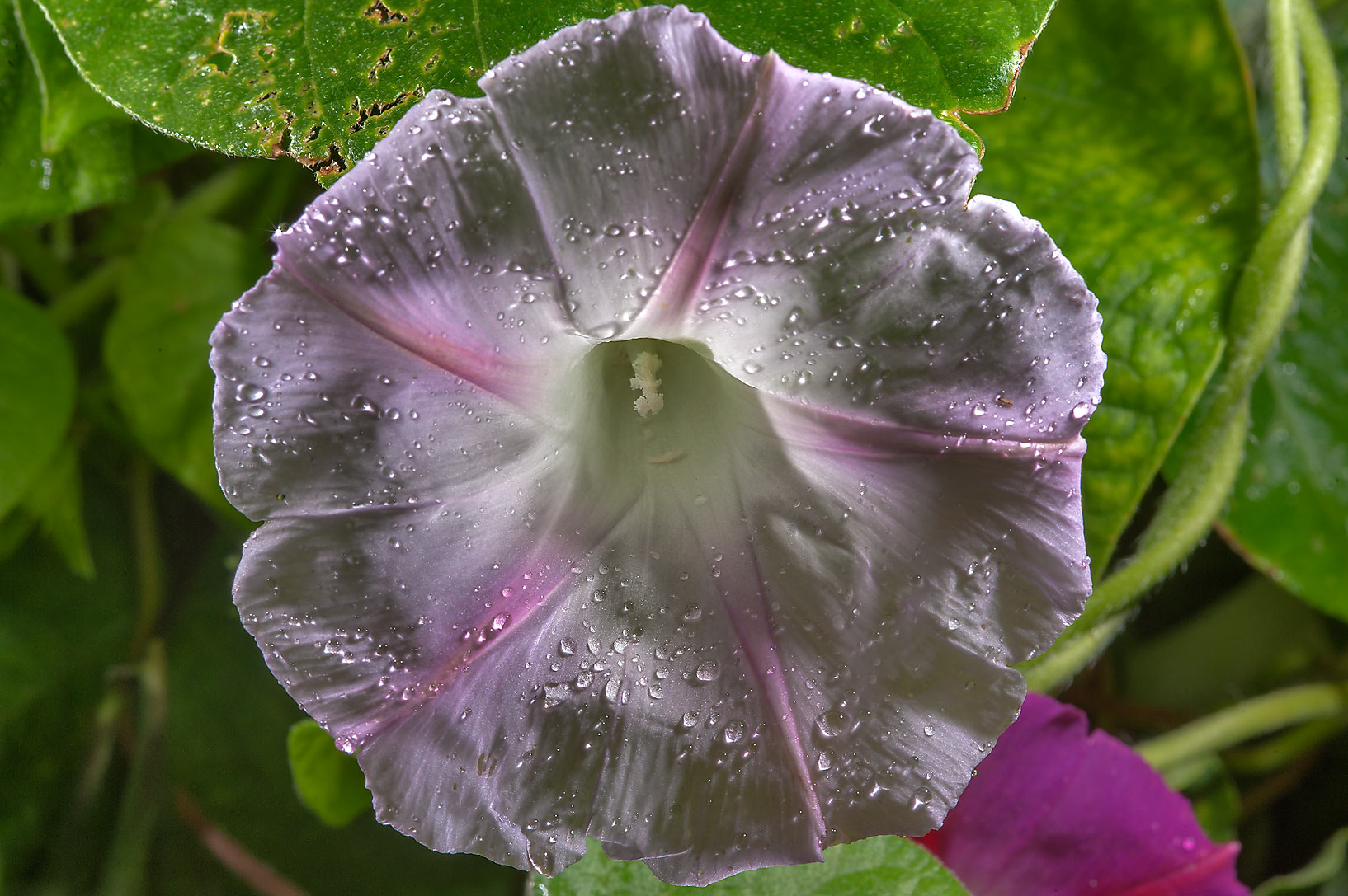 Morning glory Flowers - search in pictures