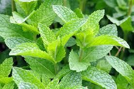 Manfaat Daun Peppermint untuk Menyembuhkan Penyakit Akibat Kabut Asap