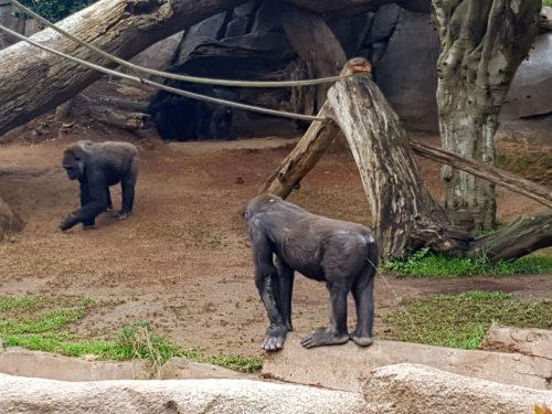 Gorilla peeing San Diego Safari Park
