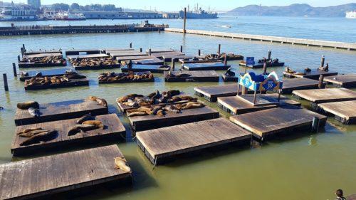 Pier 39 seal colony