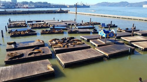 Pier 39 seal colony