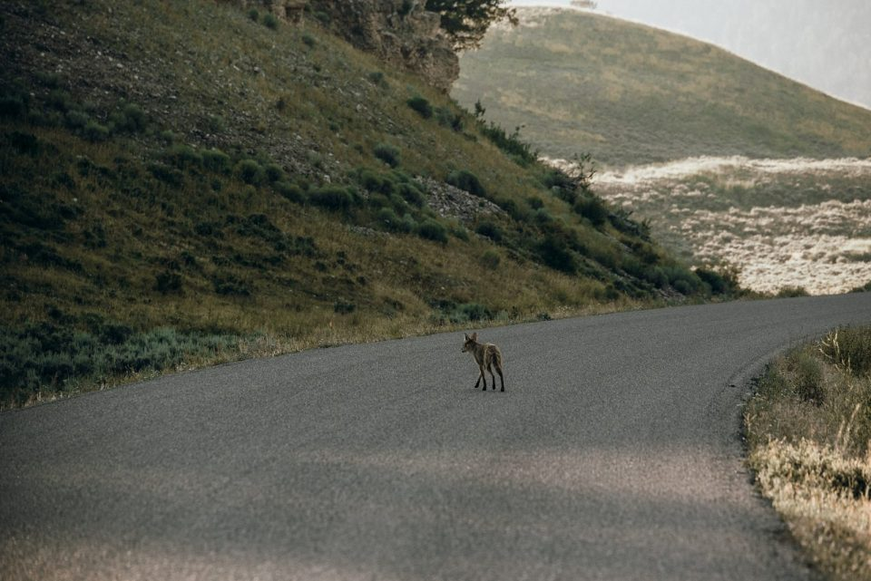 yellowstone national park fox