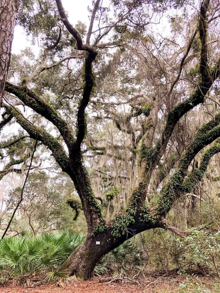 large oak trees on jekyll island