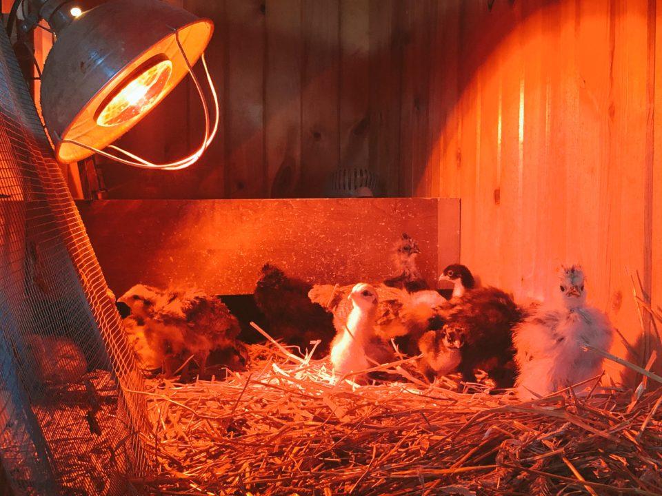 baby chicks under a heat lamp