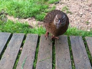 Weka bird friend