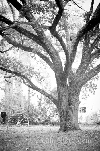 Tree for the ages, Vicksburg, MS
