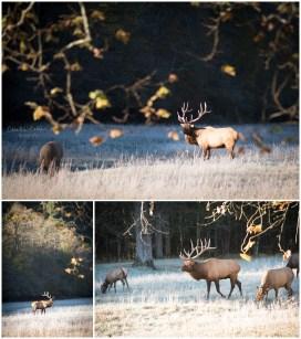 A huge elk among the herd,