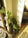 観葉植物に新芽がいっぱい