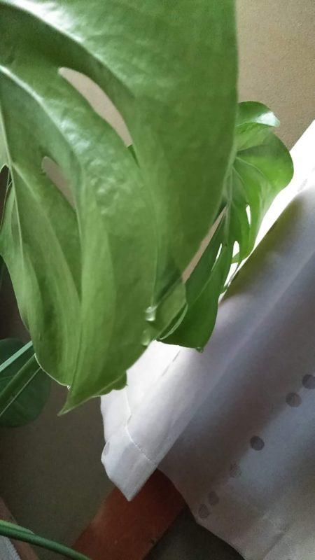 モンステラのしずくと広がる葉もまた愛おしいです