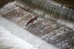 salmon-hatchery