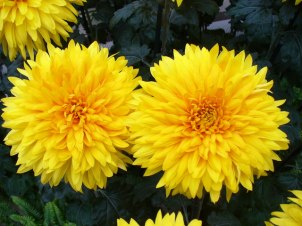 fall color_yellow mums