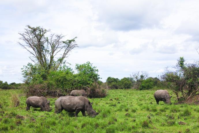 Rhino trekking at Ziwa Rhino Sanctuary in northern Uganda
