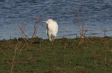 Cattle Egret, Pentney 10th January