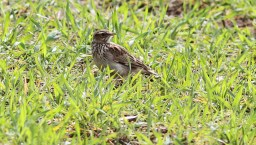 Woodlark, Cockley Cley 10th April
