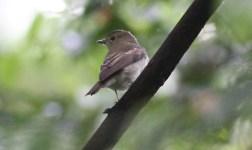 Brown Flycatcher