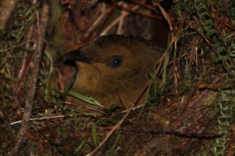 Crested Satinbird female on nest