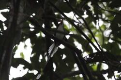 Little Paradise Kingfisher