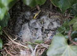 Mistle Thrush nest with 5 chicks, 30th April
