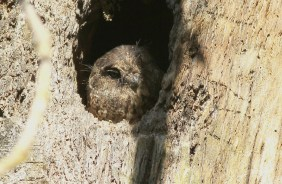 Mountain Owlet-nightjar at Tari
