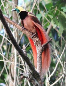 Raggiana Bird of Pardaise