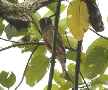 Rufous Owl at Kwatu Lodge