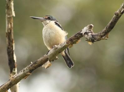 Sacred Kingfisher on New Britain
