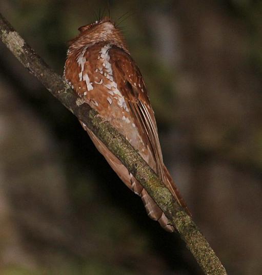 Starry Owlet-nightjar