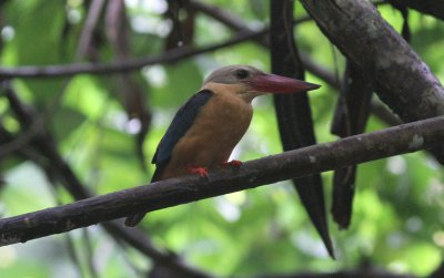 Stork-billed Kingfisher on Babi Island
