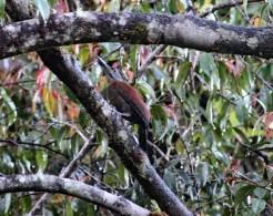 Sumatran Wood[pecker