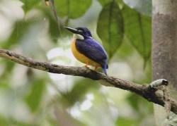 New Guinea Dwarf Kingfisher