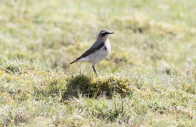 Wheatear, Gooderstone Warren, 23rd April