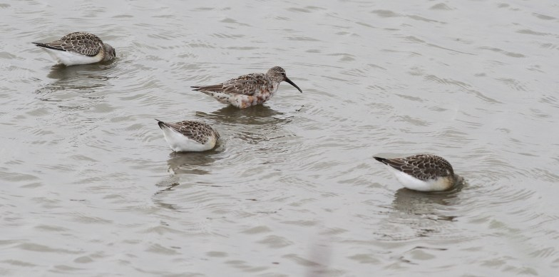 Curlew Sandpipers, Titchwell, 28th August