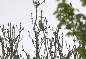 Hawfinch, Lynford 9th May