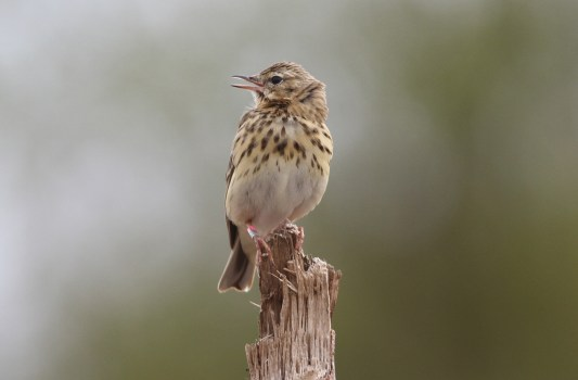 Tree Pipit, Cockley Cley Wood, 1st May