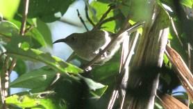 Bougainville Honeyeater