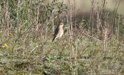 Isabelline Wheatear, Burnham Overy Dunes, 24th October
