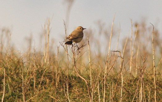 Isabelline Wheatear, Burnham Overy Dunes, 22nd October