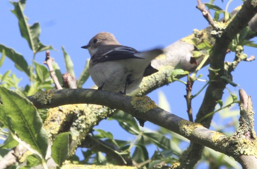 Pied Flycatcher, Burnham Deepdale 2nd October