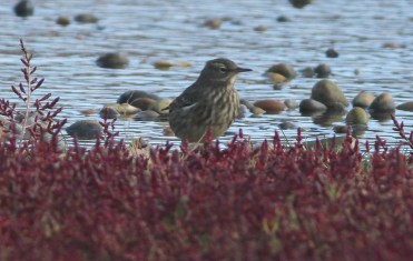Rock Pipit, Salthouse 2nd October