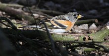 Brambling, Lynford, 9th March