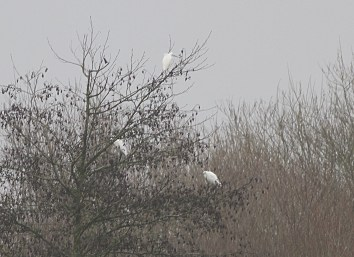 Little Egrets, Cockley Cley 7th January