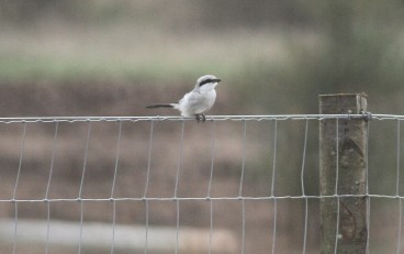 Great Grey Shrike, Cockley Cley 19th March